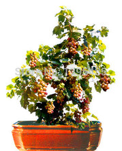 Здесь можно купить  Free shipping 50pcs Bonsai Green Grapes Seeds Pot Dwarf Fruit Home Garden Climbing Tree Rapid Growth Variety  Garden Supplies