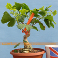 American Big Leaf Bonsai Ginkgo Biloba Seeds, 2 Seeds/Pack, Rare Dwarf Ginkgo Tree Seeds, Ornamental Green Maidenhairtree