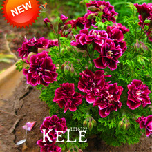 Sale!20 PCS/Pack Crimson Flower Petals Geranium Seeds, Perennial Flower Seeds Pelargonium Peltatum Flowers,#WM9T73