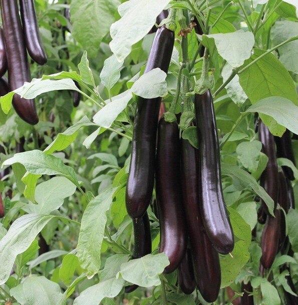 Дай платины Сеул зеленый к баклажану бонсаи питание Овощной бонсай 100 шт.