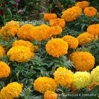 marigold flower plant mell gold chryplantanthemum eal locationplant 200g / Pack
