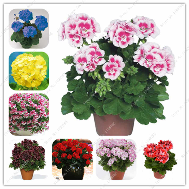 100 Pcs Colorful Bonsai Geranium Flower Rare Variegated Geranium Bonsai Potted Indoor Rooms Home Garden Flower For Bonsai Plant