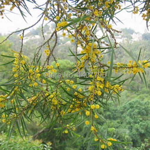 Yellow flower acacia confusa seeds perennial greening tree seed 30 yellow flower acacia confusa seeds perennial greening tree seed 30 particles in bonsai from home garden on aliexpress alibaba group mightylinksfo