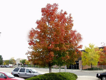 50pcs Northern American Sugar Maple Bonsai seeds Acer Saccharum