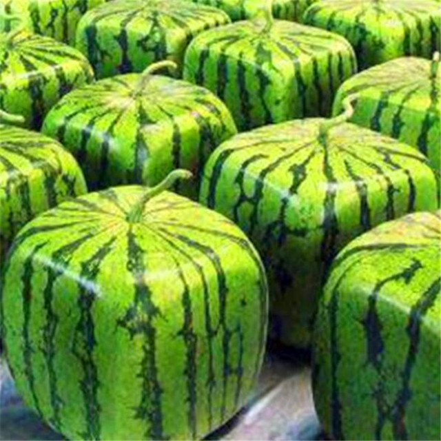 Square Water melon Seeds Non transgenic healthy fruit
