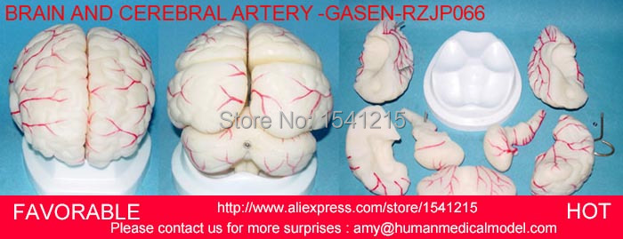 HUMAN HEAD ANATOMICAL MODEL BRAIN MODEL MEDICAL SCIENCE,HUMAN ORGAN SYSTEM INTERNAL ORGANS BRAIN AND BRAIN ARTERY -GASEN-RZJP066 цена