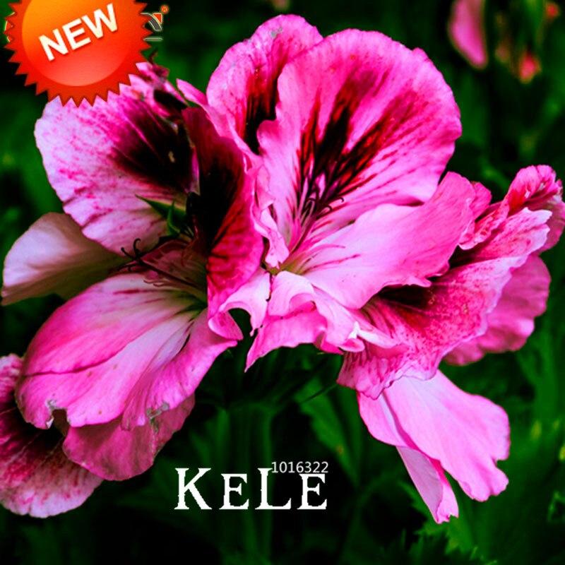 Big Promotion!20 Seed/Bag Maple Leaf Geranium Seeds, Perennial Flower Seeds Pelargonium Domesticum Flowers for Rooms,#8C5ZGW