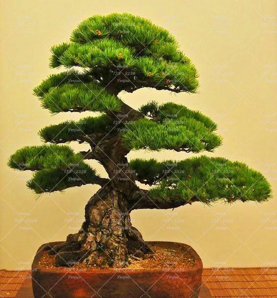 10PCS Japanese black pine seeds bonsai tree seeds Garden interior ...