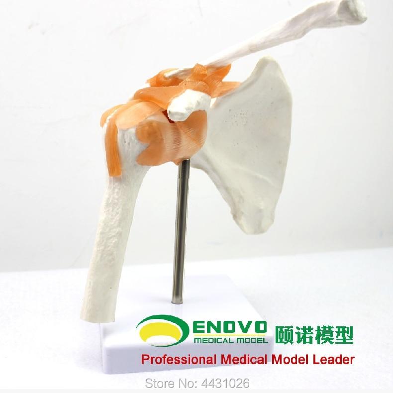 ENOVO The human shoulder joint model of shoulder arthroscopy demonstrates the human joint skeleton model