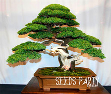 Loss Promotion!10 juniper bonsai tree potted flowers office bonsai purify the air absorb harmful gases,#1FL3EJ