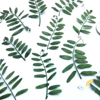 20 Pcs Natural Linearleaf Vetchling Dried Branches Plant Specimens Green Stained Decorative Pressed Flower Handmade Material