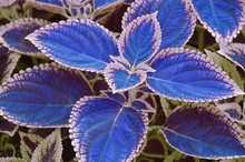 100pcs / bag blue Coleus seeds beautiful flowering plants seeds potted bonsai balcony spell color easy to grow best packaging