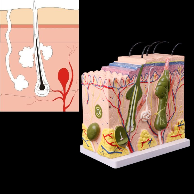 Free postage Human Skin Model Block Enlarged Plastic Anatomical Anatomy Medical Teaching ToolFree postage Human Skin Model Block Enlarged Plastic Anatomical Anatomy Medical Teaching Tool