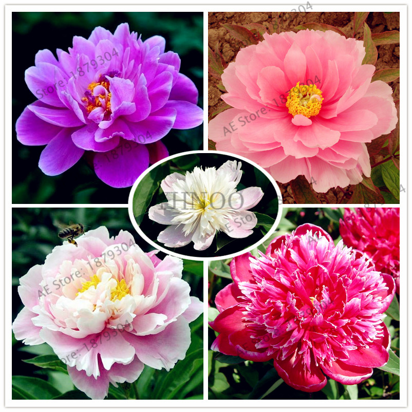 Home & Garden Perennial Chinese Herbaceous Peony Flores Garden Supplies 10pcs/bag Paeonia Lactiflora Bonsai,beautifying Garden Peony Plant
