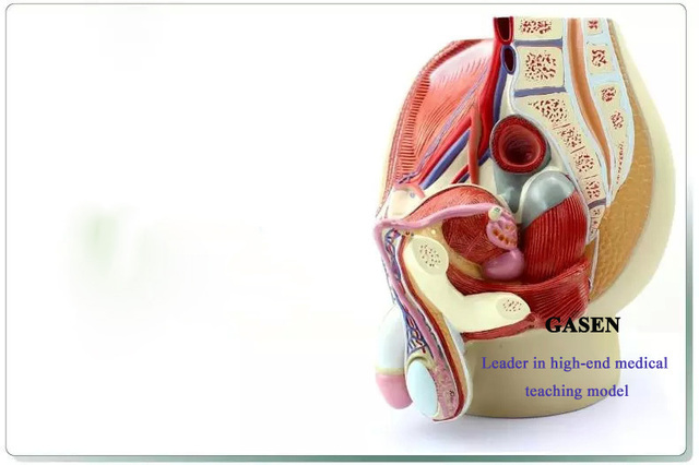 Genitourinary Prostate Pelvic Anatomy Of Model Human Medical