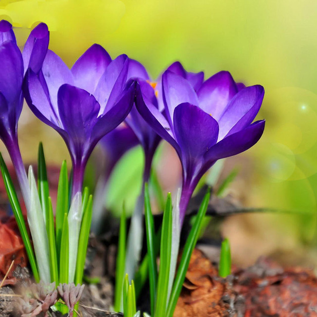 Potted balcony purple saffron seeds garden plants flowers seed potted balcony purple saffron seeds garden plants flowers seed bonsai balcony flower 50 particles lot mightylinksfo Gallery