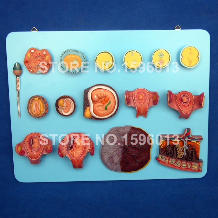 Human Fertilization and Early Embryogeny Model, Anatomical Embryos,Ovary,Fetus Models iso fertilization of ovum model anatomical model of fertilization process simulator