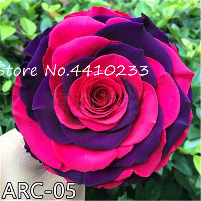 Rrare エキゾチック 200 ピース恋人マルチカラーローズ植物、虹バラ盆栽花植物多年生庭 Jardim プランテ