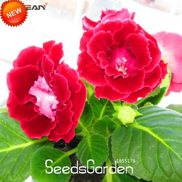 Big Promotionred Gloxinia Flores Perennial Flowering Plants