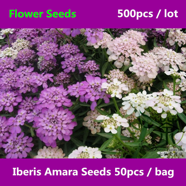 Flowering plant iberis amara 500pcs family brassicaceae flowering plant iberis amara 500pcs family brassicaceae candytuft flower mightylinksfo