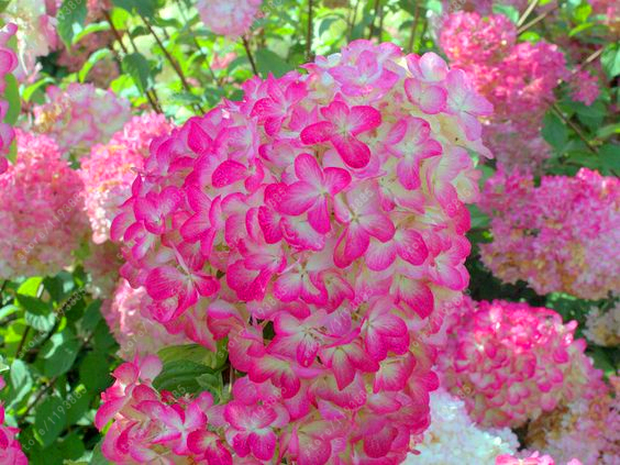 buy 20 pcsbag vanilla strawberry hydrangea flower seeds for home planting perennial outdoor indoor bonsai etc easy to grow from reliable - Vanilla Strawberry Hydrangea