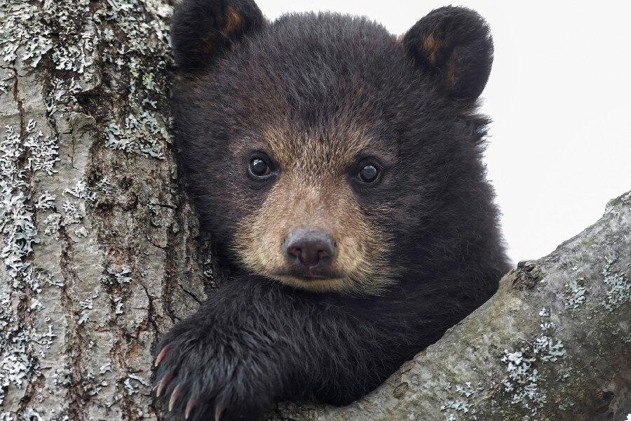 ᗑCachorro de oso ojos animales salvajes disparar cartel 12x18 ...