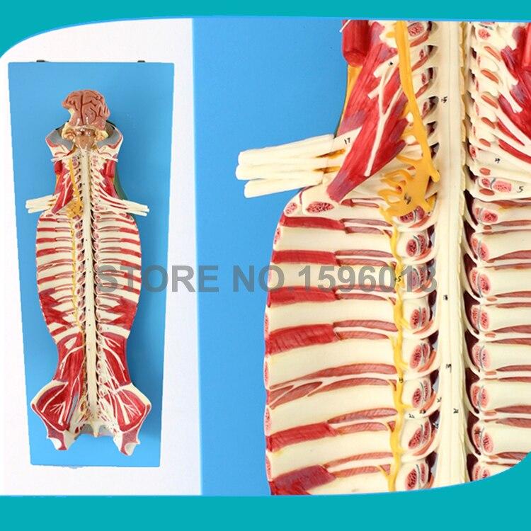 Яркие спинного мозга в позвоночного канала модель, спинного мозга модели, нервных модели