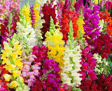 Free shipping 100pcs Antirrhinum majus seeds,Common snapdragon flower seeds colorful flowers Garden Home Bonsai Planting