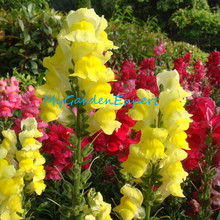 Mix-colors Snapdragon Seeds Flower Seeds 100pcs/bag Bonsai Seeds  Antirrhinum Majus Home Garden DIY Plant Free Shipping