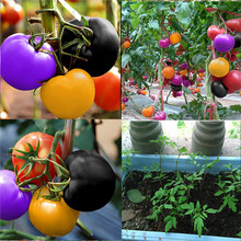 цены на 500 pcs Tomato bonsai Rare Rainbow tomato plant Bonsai Organic Vegetable fruit plant Potted plant for Home & Garden Easy to Grow  в интернет-магазинах
