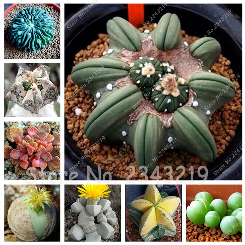 150pcs/bag Bonsai Succulent Seeds Office Desk Flower Seeds ,Absorb Radiation Plant, Lithops Seeds flower pots planters