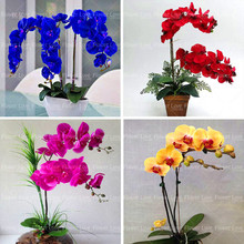 100pcs blue Orchid rare Flower Bonsai Phalaenopsis Perennial indoor flowers Potted Plants For Home Garden planting
