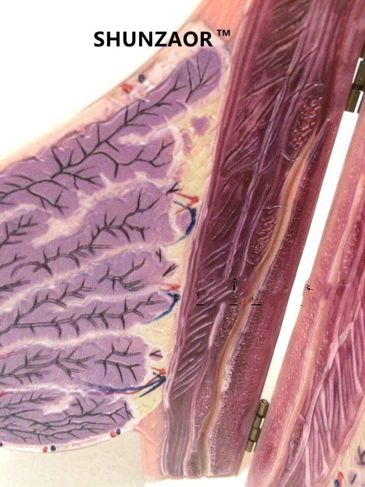 Mujeres lactancia mama anatomía belleza entrenamiento enseñanza mama ...