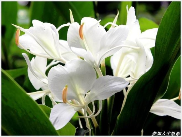 flower seeds bonsai canna lily seeds ermine tropical house plant white flowers garden decoration potted 10seeds b088 in bonsai from home garden on