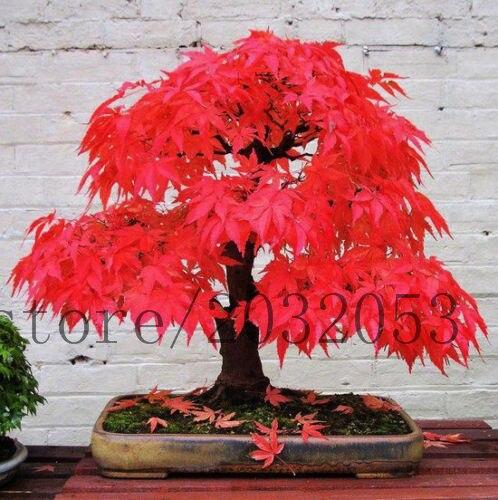 20 Japanischen Ahorn Baum Seltene Mini Bonsai Baum Für Zuhause