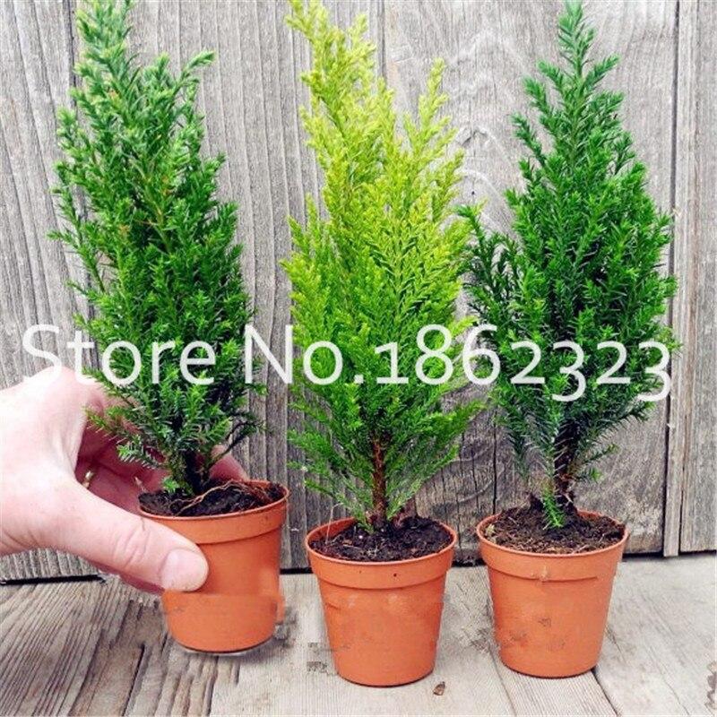 Útsala! 50 stk / poki Microbiota Decussata Siberian Carpet Cypress Thuja Flores Bonsai Tree Plant DIY Heimagarður Ókeypis sending