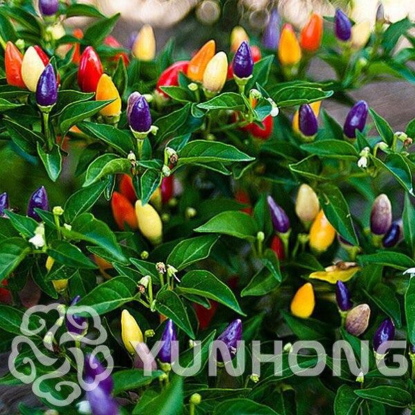 100 pcs/ Pack,Color chili peppers bonsai ,Capsicum annuum,Capsicum frutescens,Balcony vegetables bonsai Mini Hot Pepper plant