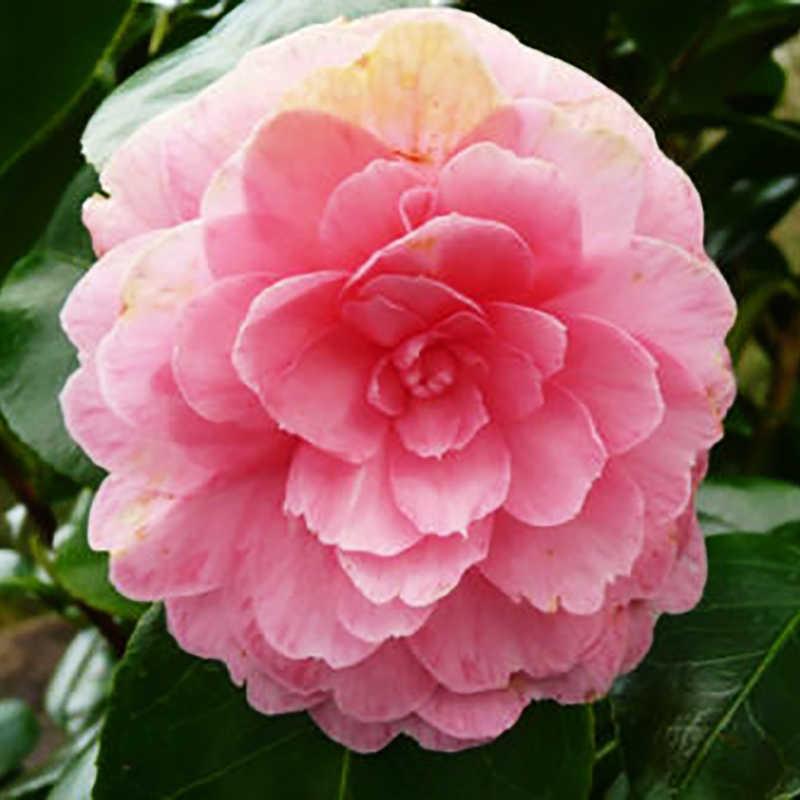 "Camelia del Tè 10pcs ""Tè Del Fiore di Tè Verde Rosa di Stile Casuale"