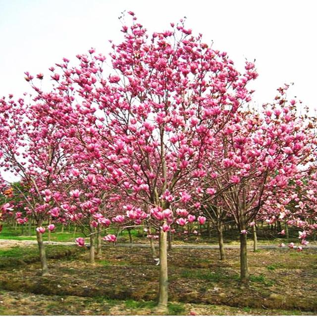 magnolia tree flower aromatic plant perennial garden flowers