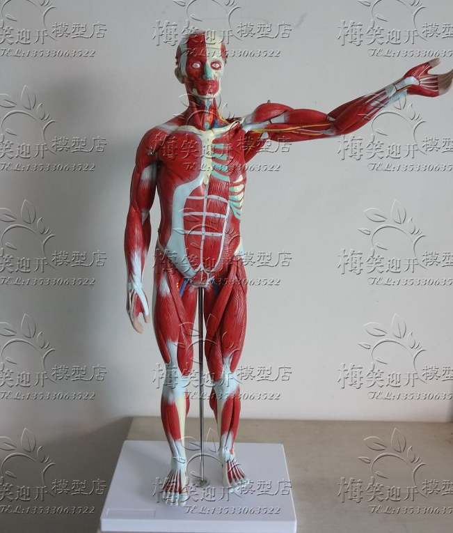 high quality human body Muscles Visceral Model Human muscle anatomy ...