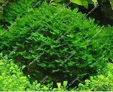 Hot Pellia For Live Fish Moss Fern Aquarium Plant Java Fish Tank  Aquatic Seeds Landscape  Decoration Ornament  1000 Pcs/bag