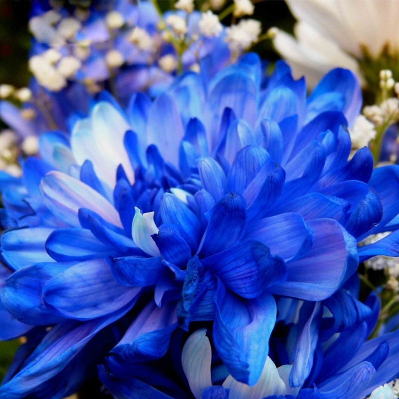 Hot Sale Rare Blue White Color Chrysanthemum Seeds Chrysanthemum Morifolium Seeds Flower Potted Plant for DIY Home Garden 120PCS