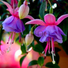Sale!Fuchsia lanterns/flower/flower Bonsai Indoor balcony living room/Begonia Bell pot flower Plants 50 Piecess,#51C4AP(China)