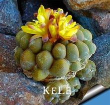 Loss Promotion!10Seed/Pack Aurora ball Cactus Seeds bonsai Succulent Plant rare flower Seeds bonsai for home & garden,#K43444
