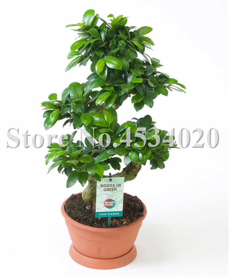 100 Pcs/Tas Banyan Tree Bonsai Ficus Ginseng Bonsai Cina Langka Ficus Microcarpa Pohon Hijau Bonsai DIY Dekorasi Taman Rumah