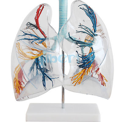 2X Life Size Professional Educational Clear Lung Segment Anatomy Medical Model human anatomy model of the human body lung segment nasal cavity bronchopulmonary model
