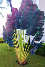 100 Pcs/Bag Purple Travelers Palm Flores Bonsai, Ravenala Madagascariensis Chinese Fan Palm Plant,Tall Evergreen Tree Diy Garden(China)