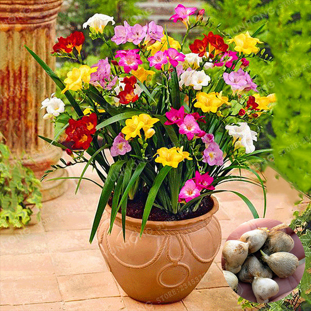 2pcs Color Mixing Freesia Bulbs Potted Flowers Potted Plant Roots ...
