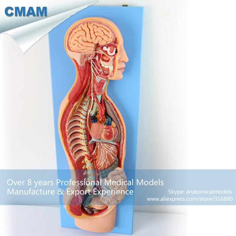 12415 CMAM BRAIN17 Human Sympathetic Nervous System Study Model , Medical Science Educational Teaching Anatomical Models