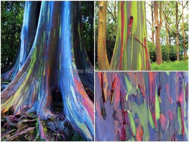 300 De Rainbow Eucalyptus Semences De Graines écorce Couleur Est